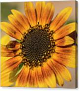 June Sunflowers #2 Canvas Print