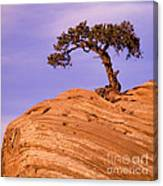 Juniper On Sandstone Canvas Print