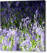 Just Bluebells  Canvas Print