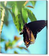 Just Hanging Out - Red-spotted Purple Butterfly Canvas Print