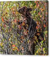 Just Looking For Berries Canvas Print