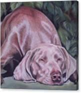 Just Lovely Weimaraner Canvas Print
