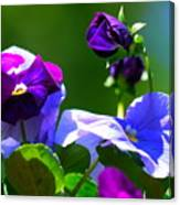 Just Pansy Canvas Print