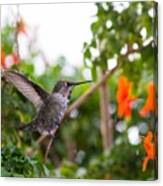 Juvenile Anna's Hummingbird Warm-up Canvas Print