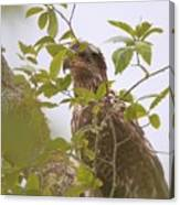 Juvenile Bald Eagle In Leaves Canvas Print