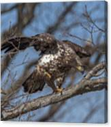 Juvenile Bald Eagle With A Fish Drb0218 Canvas Print