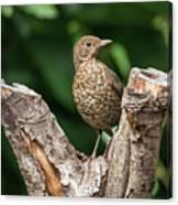Juvenile Black Bird Turdus Merula Fledgling In Tree Stump In For Canvas Print