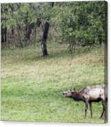 Juvenile Bull Elk Grazing 2 Canvas Print