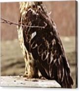 Juvenile Eagle Canvas Print
