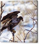 Juvenile Eagle Taking Off   Canvas Print