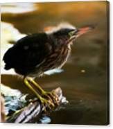 Juvenile Green Heron Canvas Print