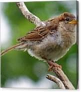 Juvenile House Sparrow Canvas Print