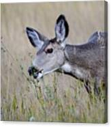 Juvenile Mule Deer Feeding Canvas Print