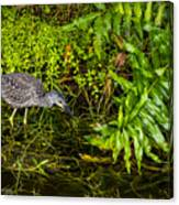 Juvenile Night Heron Canvas Print