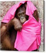 Juvenile Orangutan Canvas Print