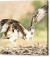 Juvenile Osprey Testing Their Wings Canvas Print