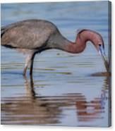 Juvenile Reddish Egret Canvas Print