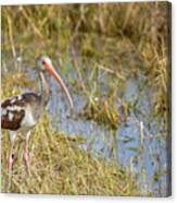 Juvenile White Ibis In The Everglades Canvas Print