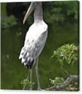 Juvenile Wood Stork Canvas Print