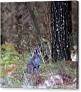 Kangaroo In The Forest Canvas Print