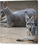 Kangaroo Relaxing On Ground In The Sun Canvas Print
