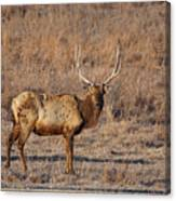 Kansas Elk Canvas Print