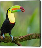 Keel Billed Toucan Perched On A Branch In The Rainforest Canvas Print