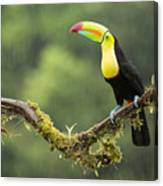 Keel-billed Toucan Perched Under The Rai Canvas Print