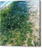 Kelp At Low Tide Line Canvas Print