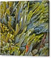 Kelp On A Rock Canvas Print