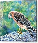 Kestrel Canvas Print