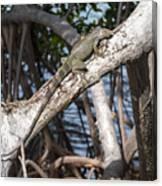 Key West Iguana In Mangrove 3 Canvas Print