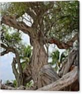 Kiawe Tree Canvas Print