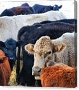 Kibler Valley Cows Canvas Print