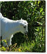 Kid Goat In Bushes Canvas Print