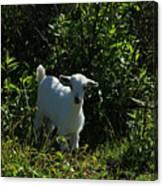 Kid Goat On A Farm Canvas Print