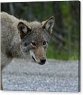 Killarney Coyote Canvas Print