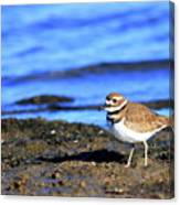 Killdeer . 40d4101 Canvas Print