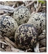 Killdeer Eggs Canvas Print