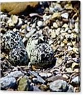 Killdeer Nest Canvas Print