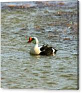 King Eider Canvas Print