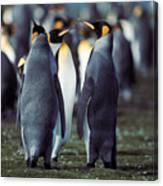 King Penguins Volunteer Point Falkland Islands Canvas Print