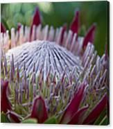 King Protea Island Flowers Jewel Of The Garden Canvas Print