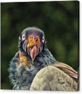 King Vulture Canvas Print
