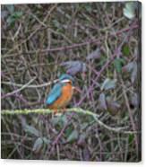 Kingfisher. Canvas Print