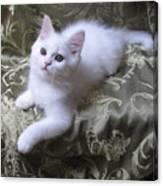 Kitten Snow White Silky Fur Canvas Print