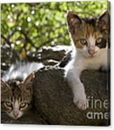 Kittens On A Wall Canvas Print