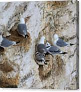 Kittiwakes Tend Their Chicks At Rspb Bempton Cliffs Canvas Print