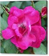 Knockout Rose Surrounded By Buds Canvas Print