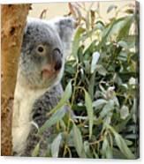 Koala Bear I Canvas Print